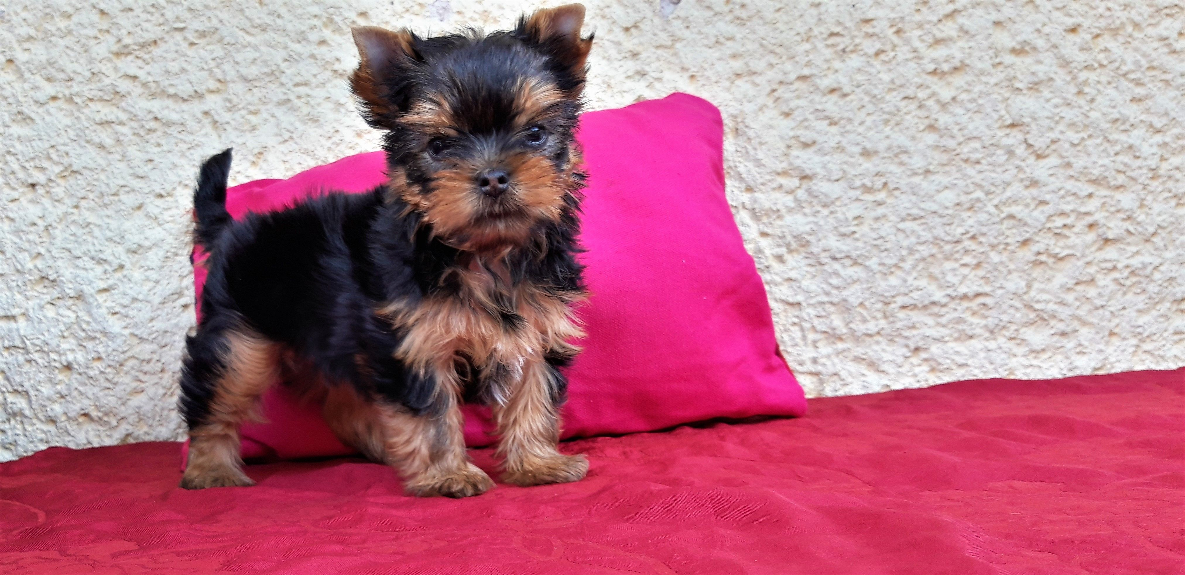 The Bed Is The Best Place For A Yorkie Baby Yorkshireterrier Puppy