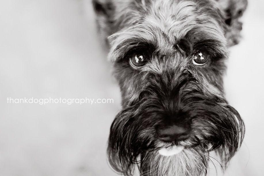 Penny And Tux Pet Portraits Schnauzer Animal Photography