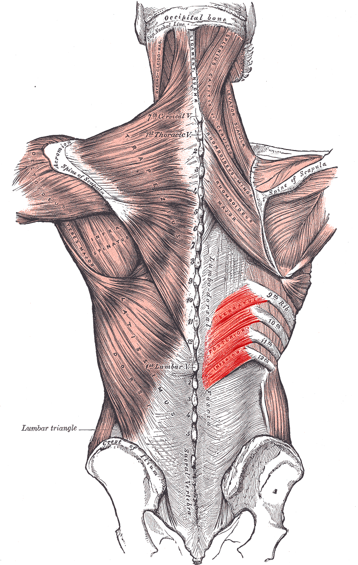 Serratus posterior inferior muscle - Wikipedia | Middle back ...