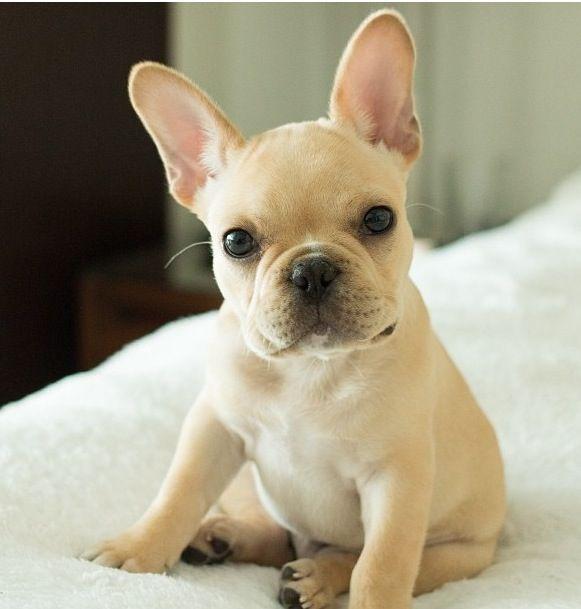 Photo Http Bungalowclassic Tumblr Com Cute French Bulldog