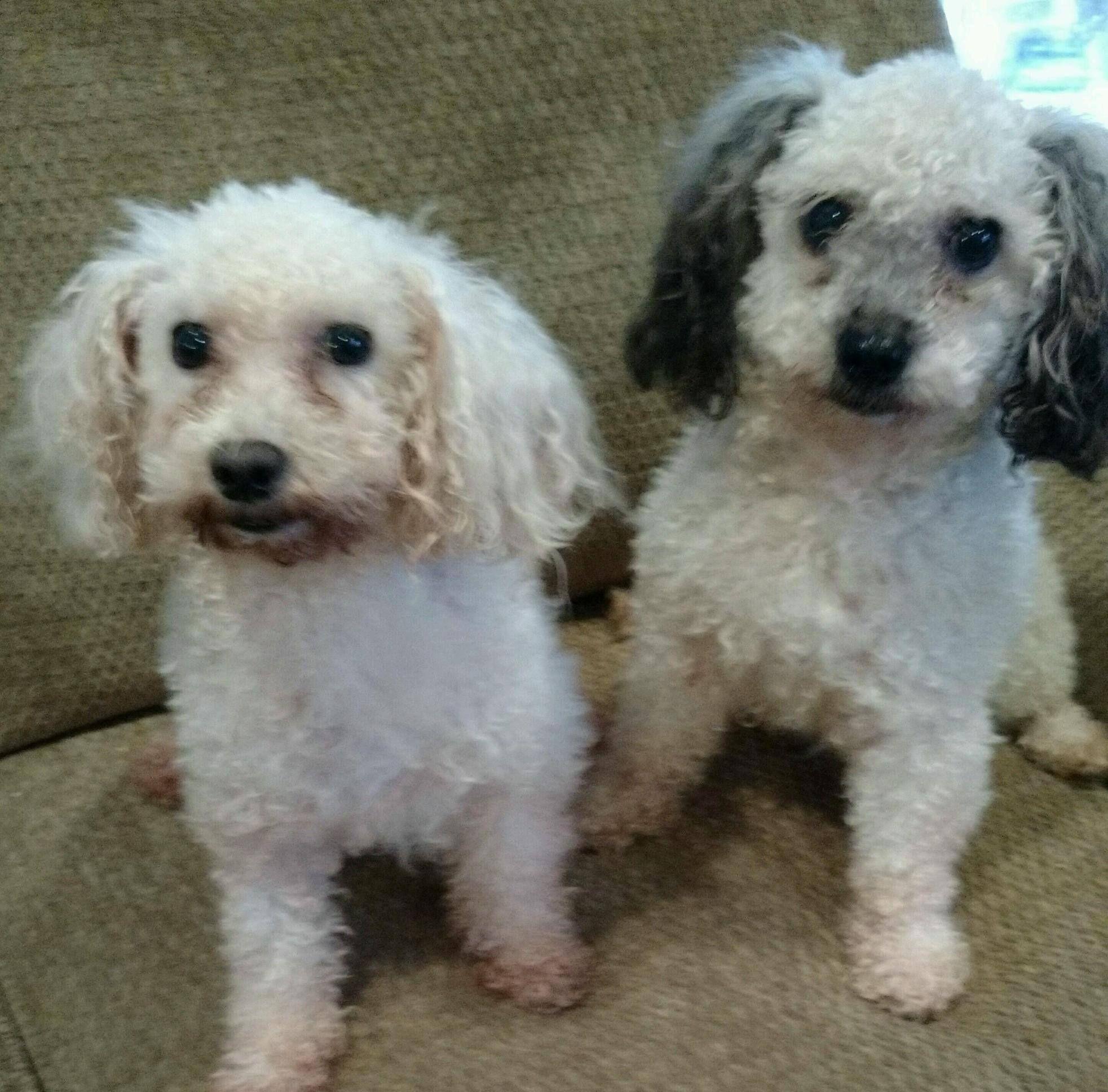 Poodle Toy Dog For Adoption In Centreville Va Adn 448973 On