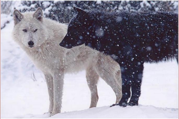 Le Loup Arctique Loup Loup Arctique Chien Loup