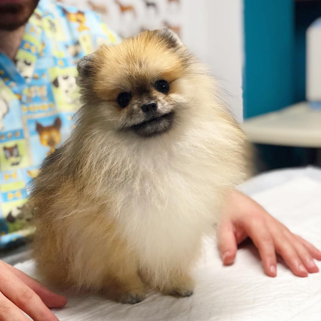 Machu Pomeranian 1 Y O A Lion That Fits In Your Pocket Pomeranian Dog Dogoftheday Dogofinstagram Pet Vet Clinic Ani Animals Pomeranian Dogs