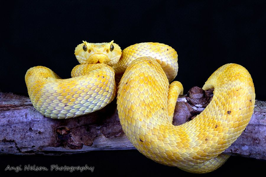 Pink Eyelash Viper Similar Galleries Blue Eyelash Viper Eyelash