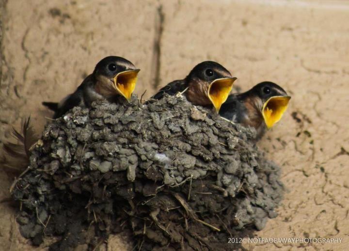 Texas Barn Swallows | Birds | Barn swallow, Bird feathers ...
