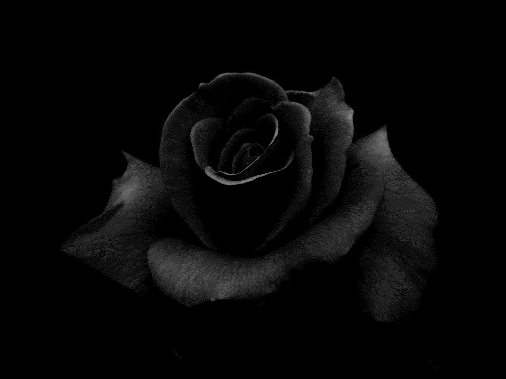 Black Rose HD Wallpapers HD Wallpapers COLOR BLACK