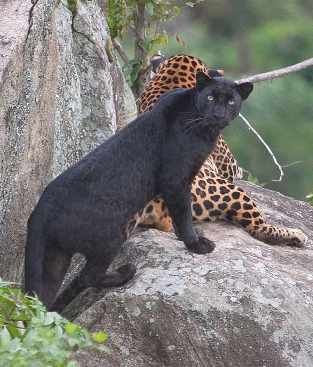что пума и леопард фото сегодня