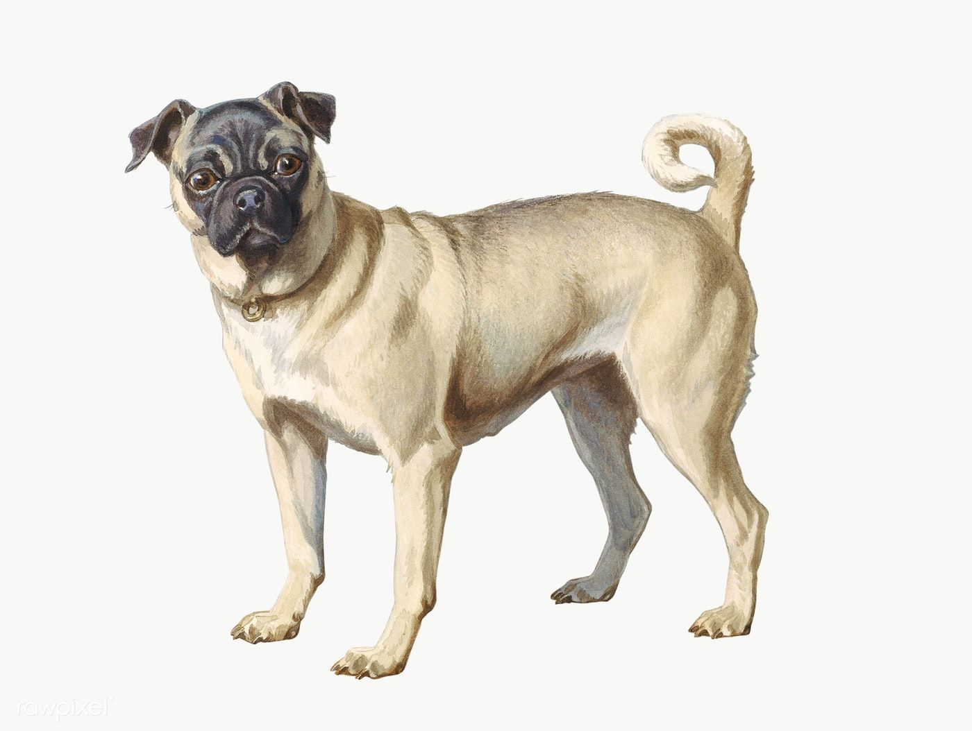 Download Premium Png Of Painting Of A Small Pug Dog Transparent