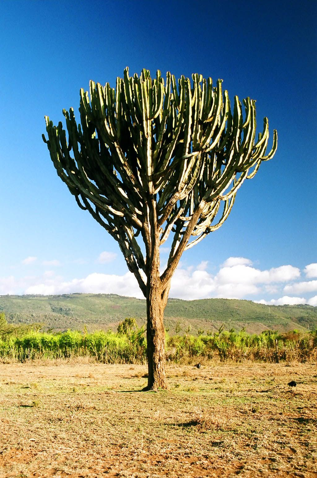B Savanna Main Trees African Tree Euphorbia Bromeliads