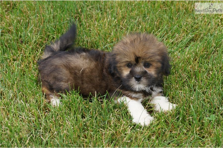 Lhasa Apso Puppy For Sale Near South Bend Michiana Indiana