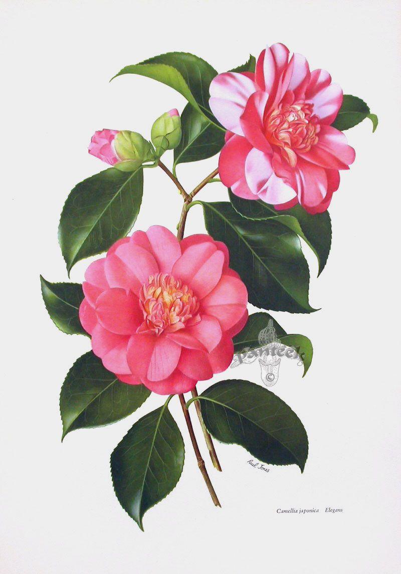 Paul Jones Camellia Prints Botanical Drawings Flower Painting Vintage Botanical Prints