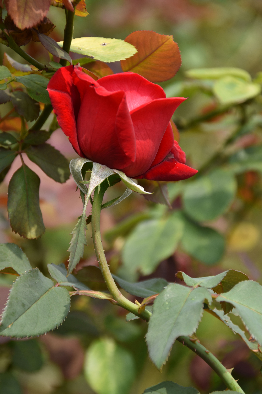 Bud Red Roses Rose Roses Flower Flowers Flora Red Bunga