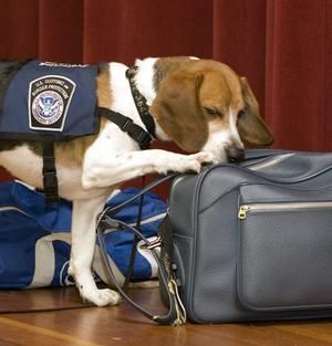 Beagle Brigade Work For The Dept Of Homeland Security In Customs
