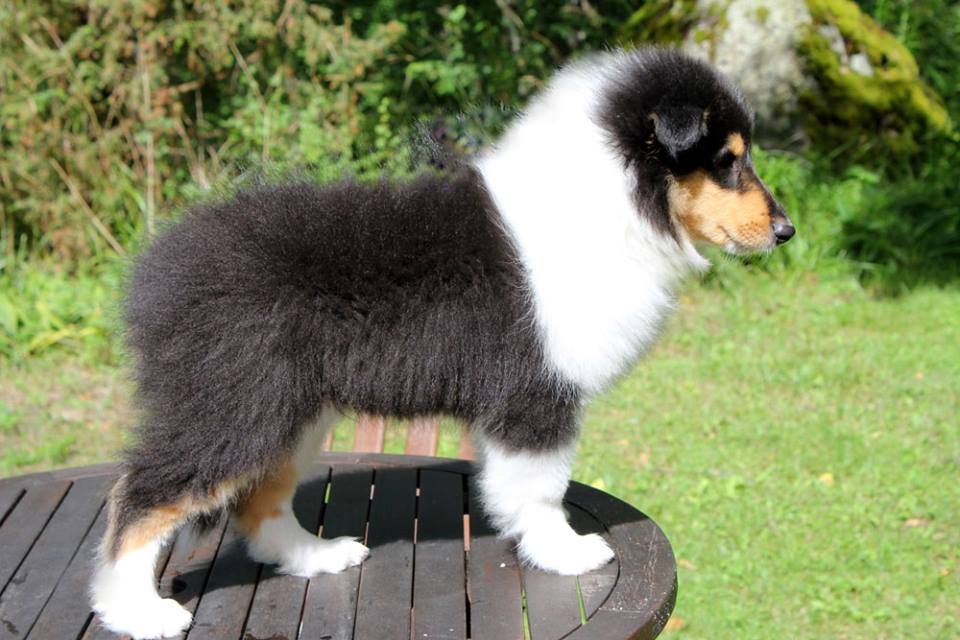 Romeo 10½ weeks Rough collie, Dogs, Sheltie