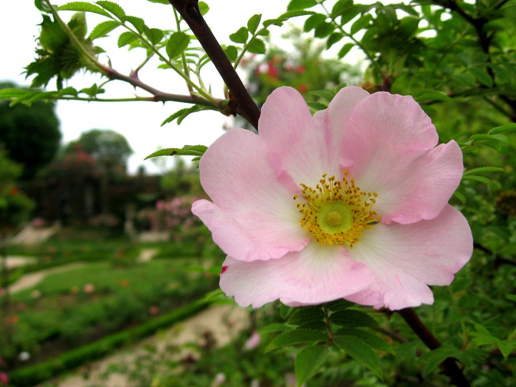 for whole family united kingdom website for discount Rosa Roxburghii (Briar rose of Japan, Chestnut rose - hips ...