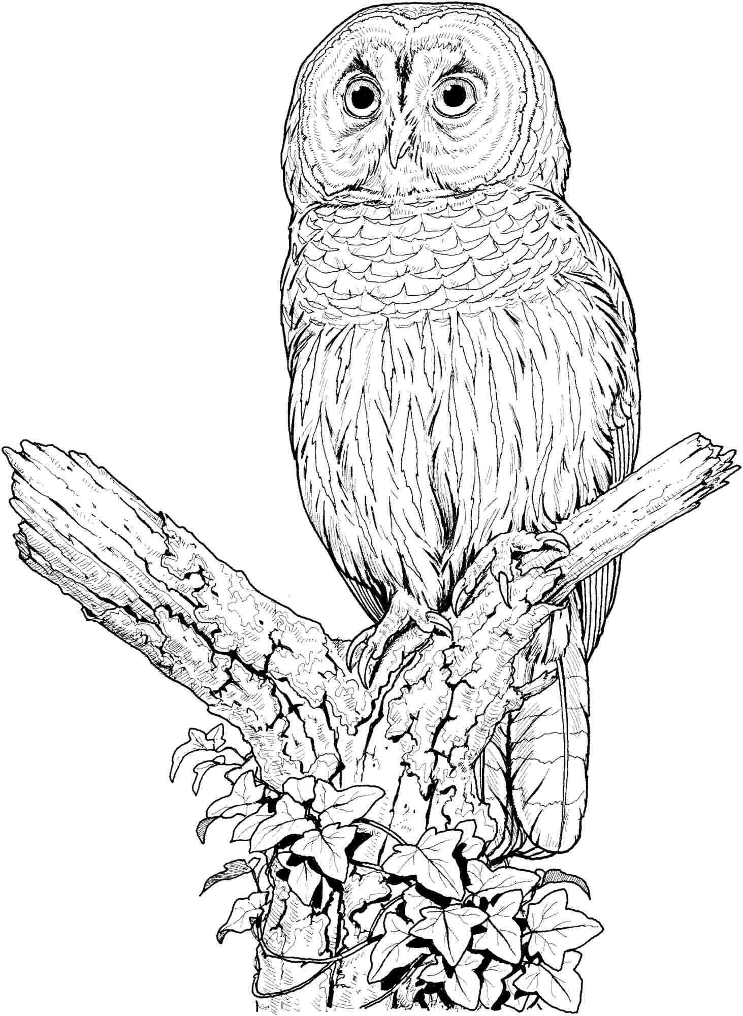 Colouring Sheets Animal Owl Free Printable For Preschool