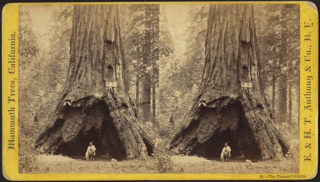 The Pioneer's Cabin Tree: One of the most famous giant sequoias in the United States