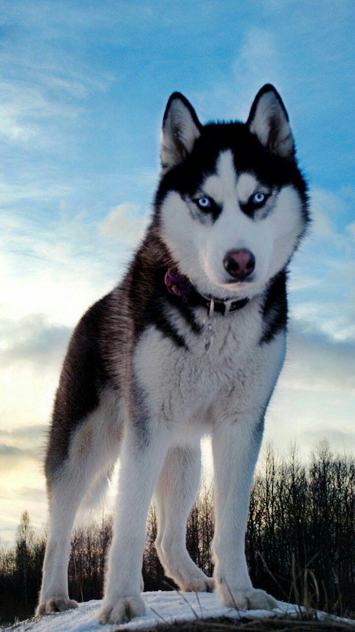 Pin By Logan On Dogs Siberian Husky Husky Dogs Dogs