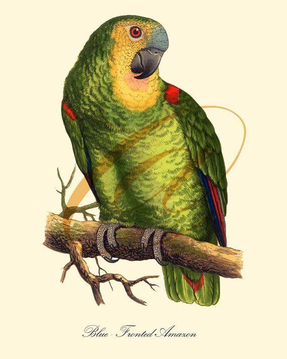 Parrot Bird Print Old Prints Nature print Vintage prints Victorian ...