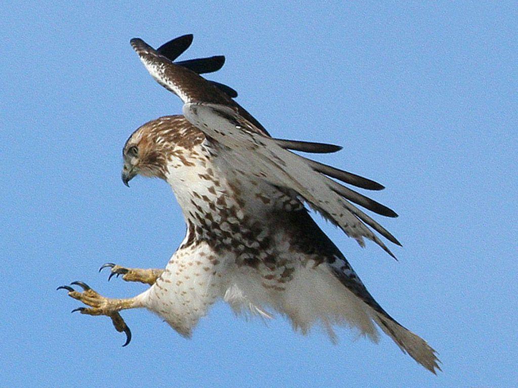 See A Bird Of Prey Kill Something Eagle Wallpaper Hawk Eagle Birds