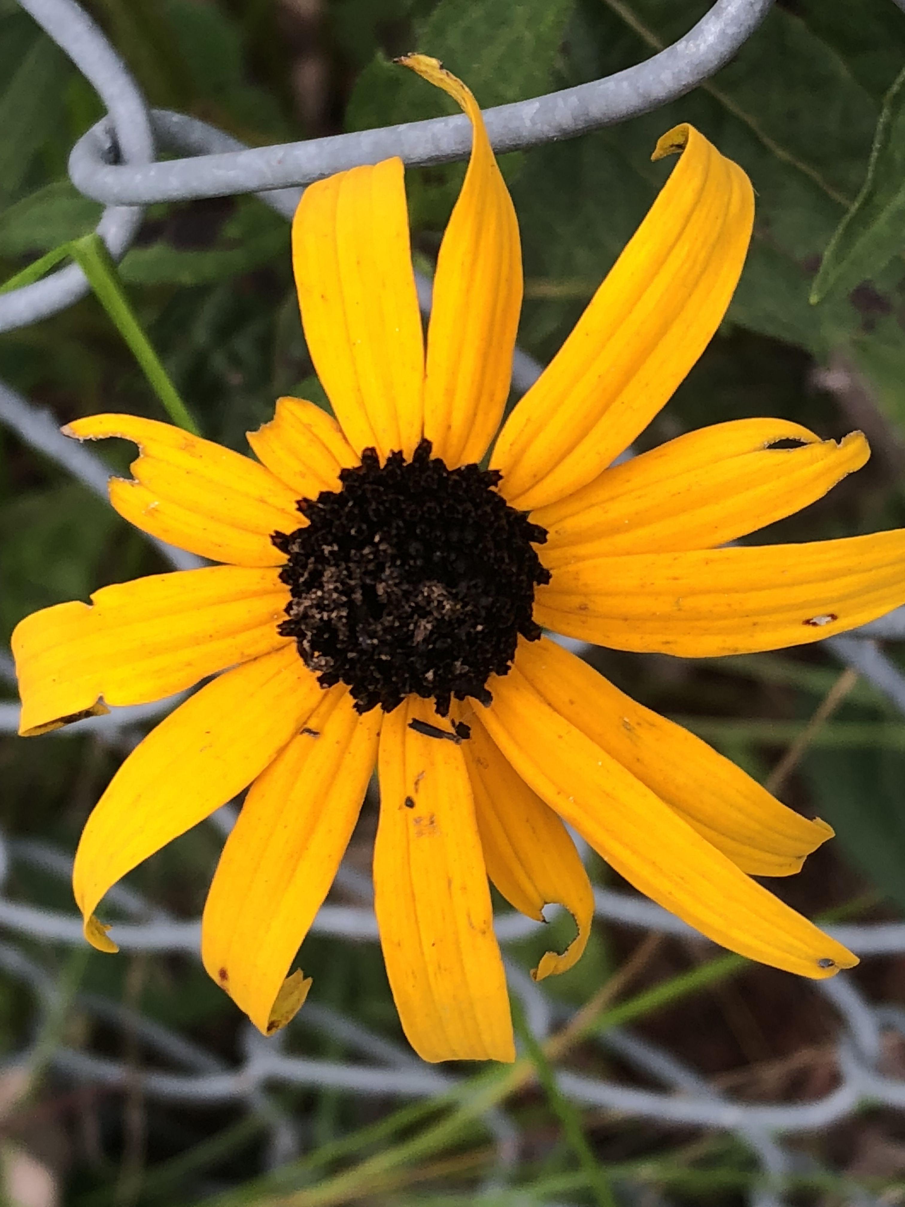 Pin By Gail Wilson On Perennials Pinterest Yellow Daisy Flower
