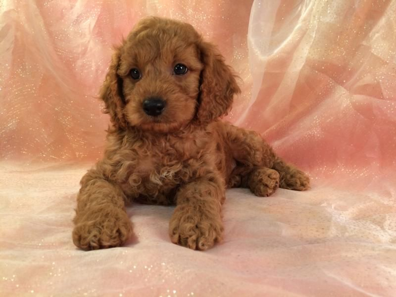 Cockapoo Puppies for Sale Cockapoo Breeder in Iowa Red