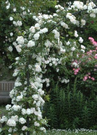 snow goose est une vari t de rosier liane remontant qui ne pousse pas tr s haut 2 5m et. Black Bedroom Furniture Sets. Home Design Ideas