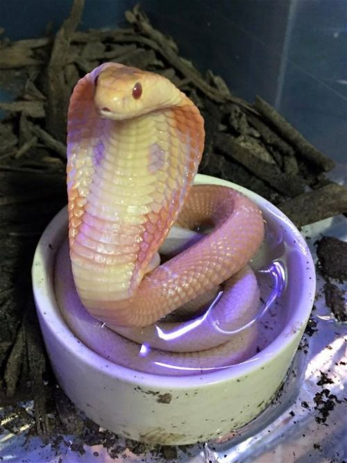 Albino Monocled Cobra(Naja Kaouthia) Photo credit: Chris ...Naja Kaouthia Venom