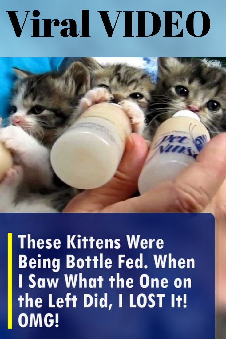 These Kittens Were Being Bottle Fed When I Saw What The One On The Left Did I Lost It Omg Kittens Old Cats Little Kittens