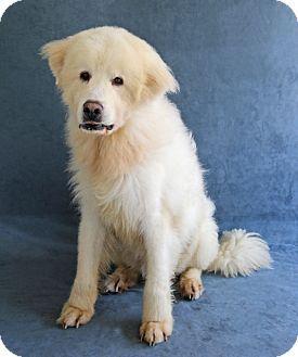 Greensboro, NC - Great Pyrenees Mix. Meet Buddy, a dog for adoption.