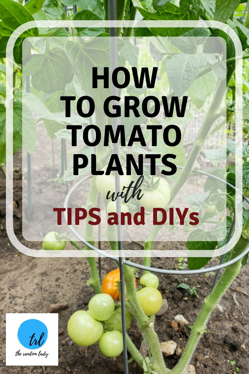 growing tomato tips and DIYs for gardening