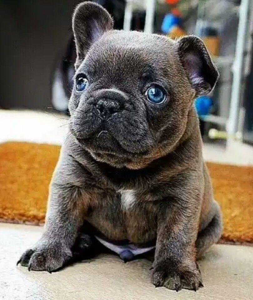 Blue eyed French Bulldog Puppy american bulldogs