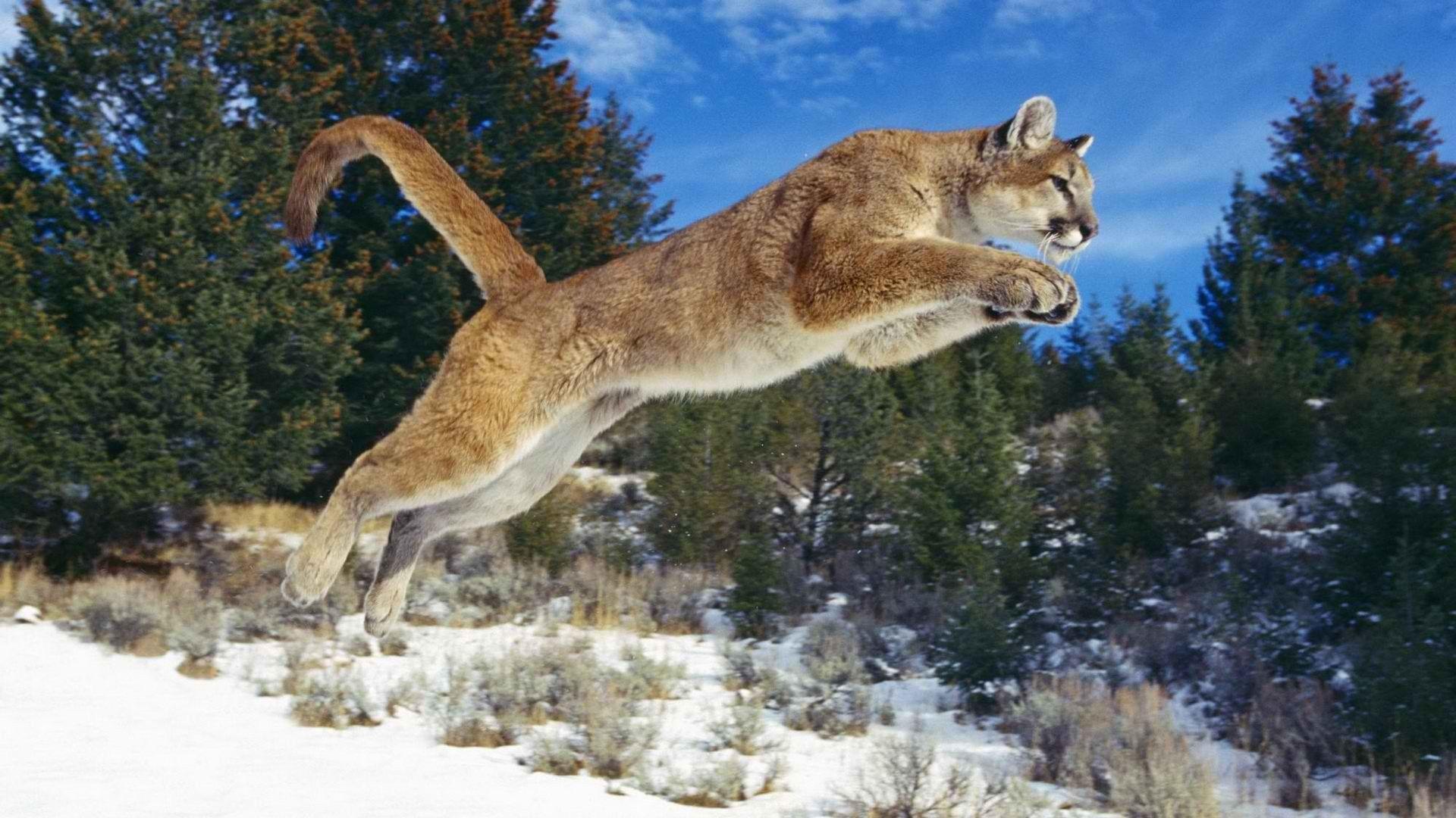 Download Wallpaper 1920x1080 Puma, Cougar, Mountain lion, Big cat ...