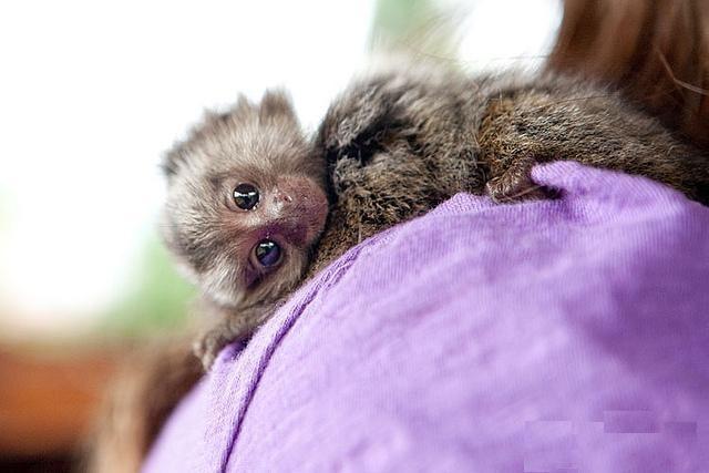 Baby Finger Monkey | Finger Baby Marmoset Monkeys For ...