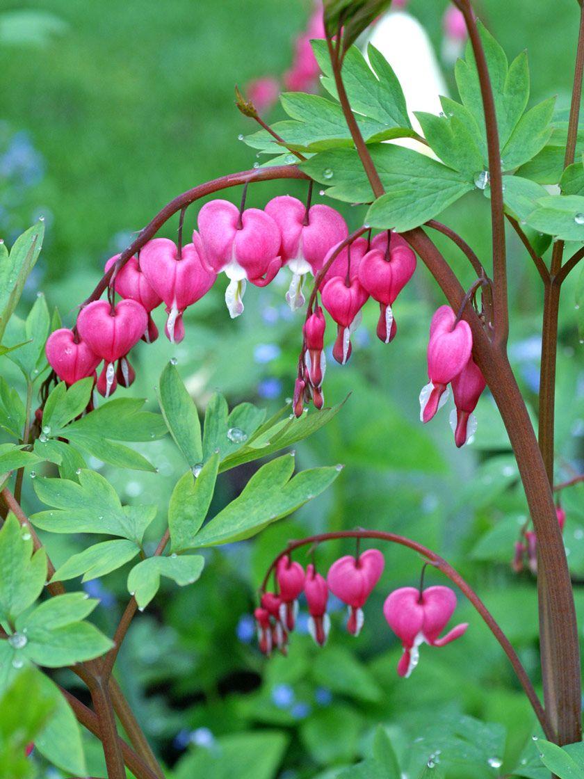 Bleeding hearts for sale gardeners supply in 2020