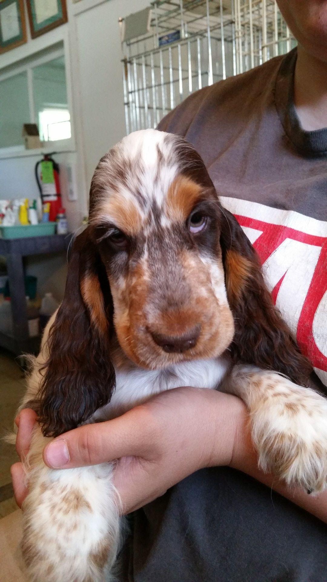 Wanted Golden Lab Retriever Dogs Puppies Gumtree Australia