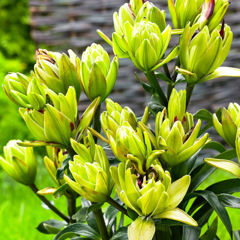 5x Doppelblutige Lilie Mystery Dream Grun Rot Lilien Pflanzen Giessen Zwiebel Pflanzen