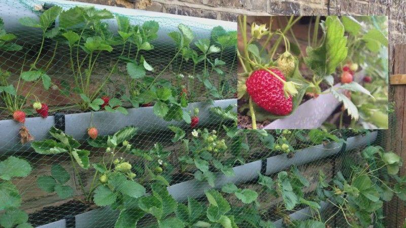 36+ Erdbeeren im zimmer pflanzen 2021 ideen