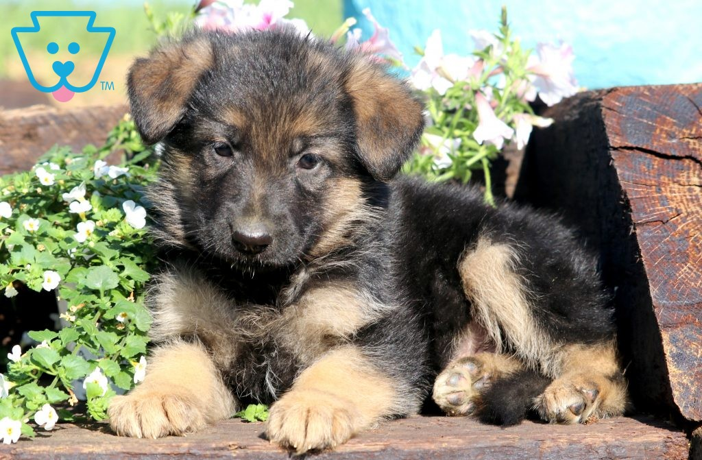 Ace Shepherd Puppies