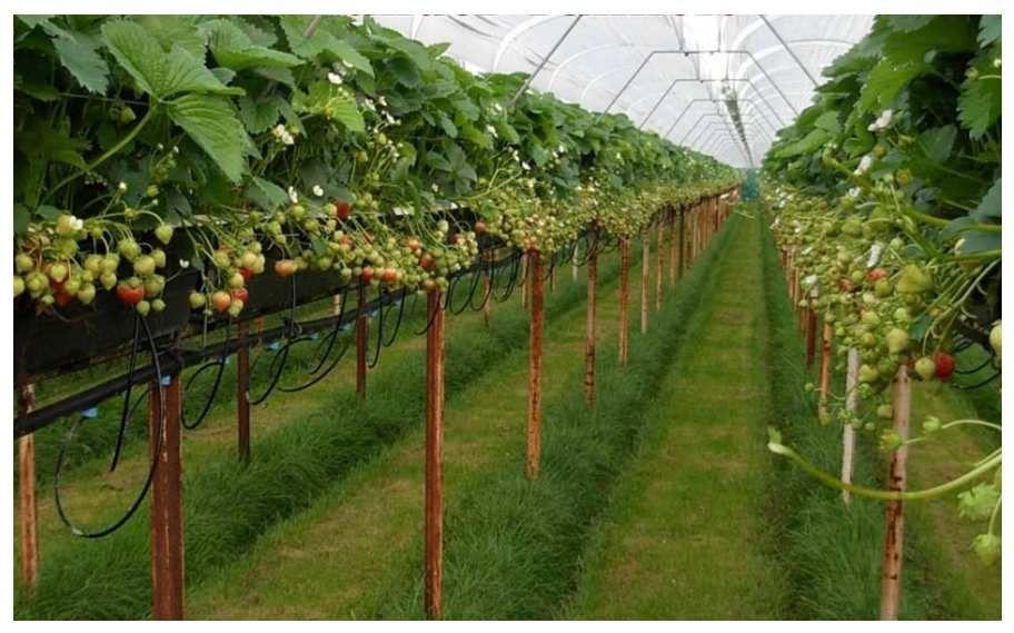 Growing Strawberries In Raised Troughs Gardening