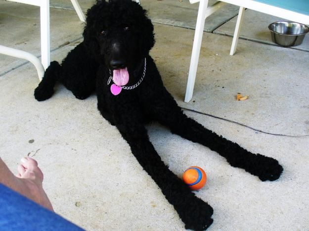 Hehehehe Love Those Long Legs Standard Poodle Black