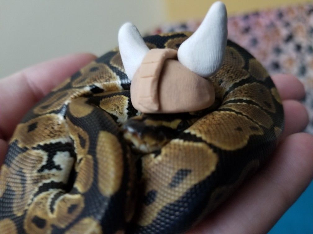 Cute baby ball python in viking hat. It's a little too big ...