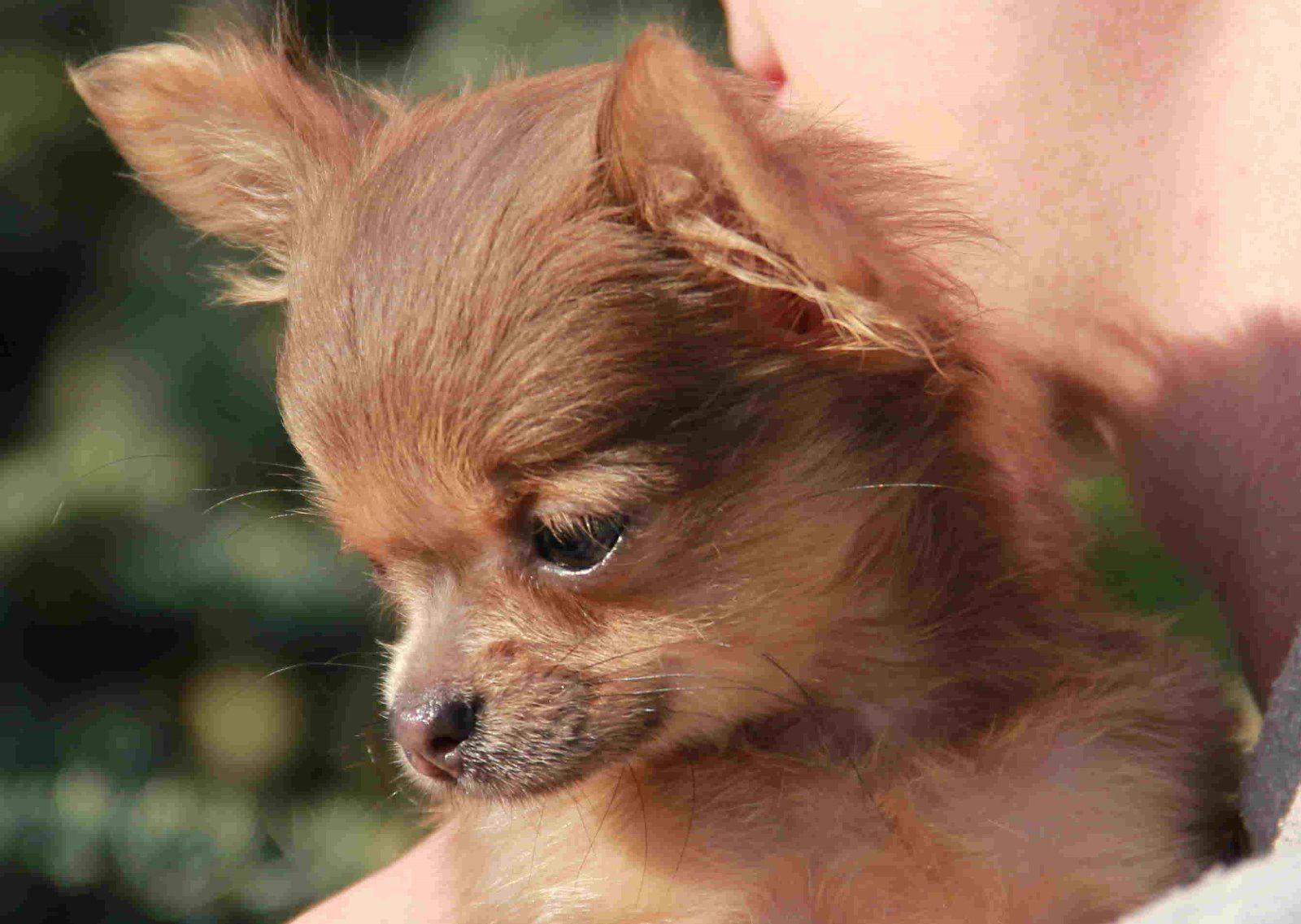 Bezaubernder Mini Chihuahua Welpe in Langhaar (Rendsburg