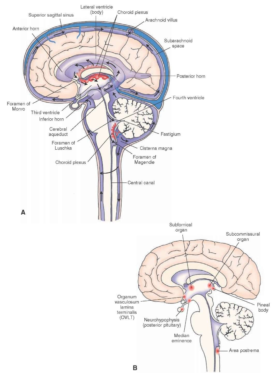 The Location And Connections Between The Ventricles Of The Brain A