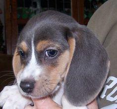Blue Eyes Nose9weeks Jpg 661 617 Blue Tick Beagle Beagle