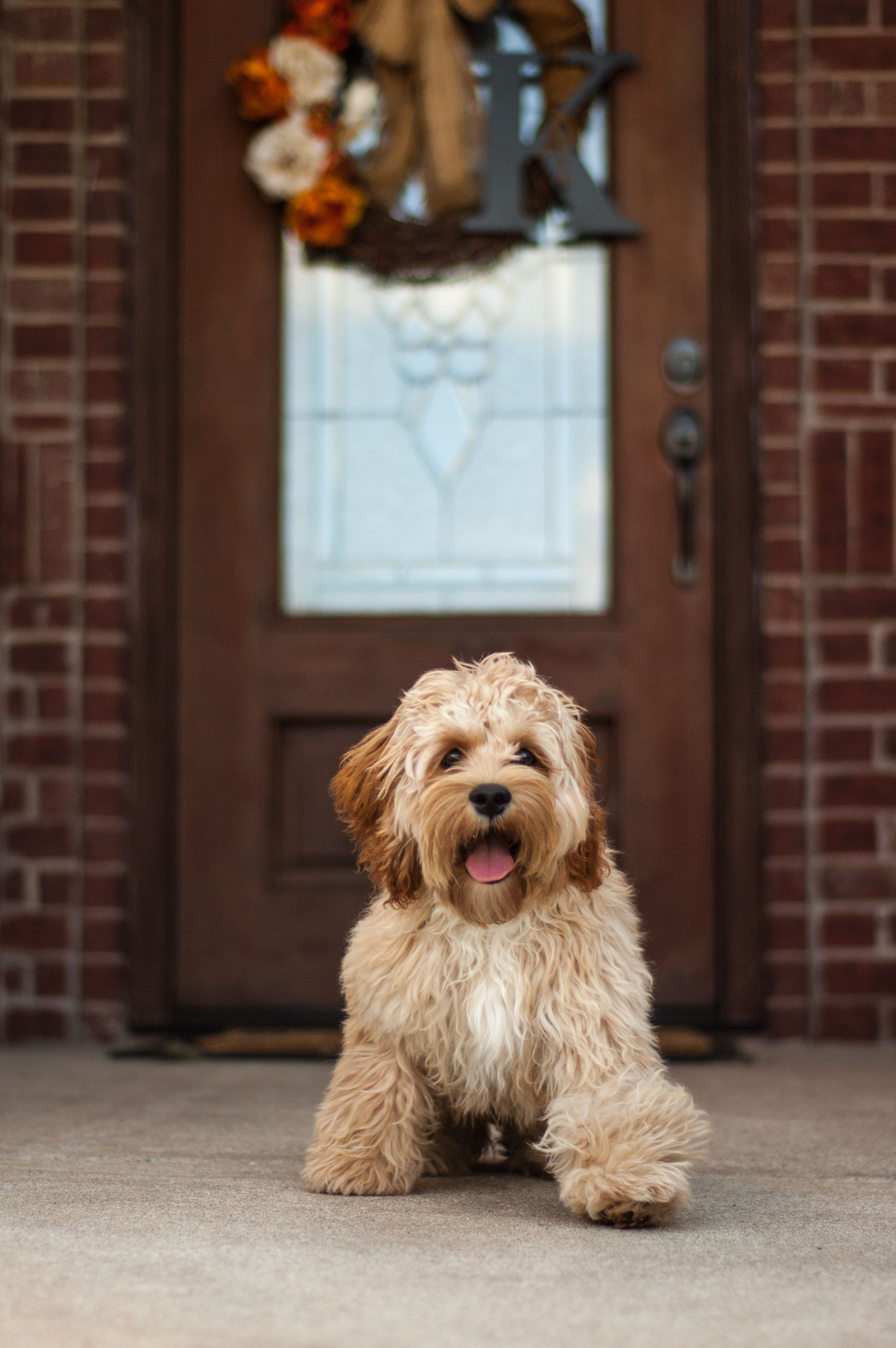 Cockapoo Puppy Dog Buff Cockapoo Puppy Fall Arkansas Cute Puppy