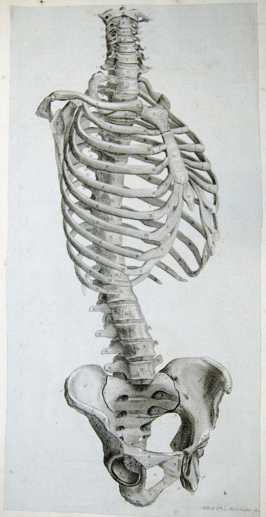 Side view of the bones of the torso | Anatomy, Skeletons ...