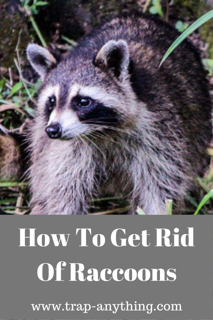Get Rid Of Raccoons - From Bird Feeders Or Pet Food ...