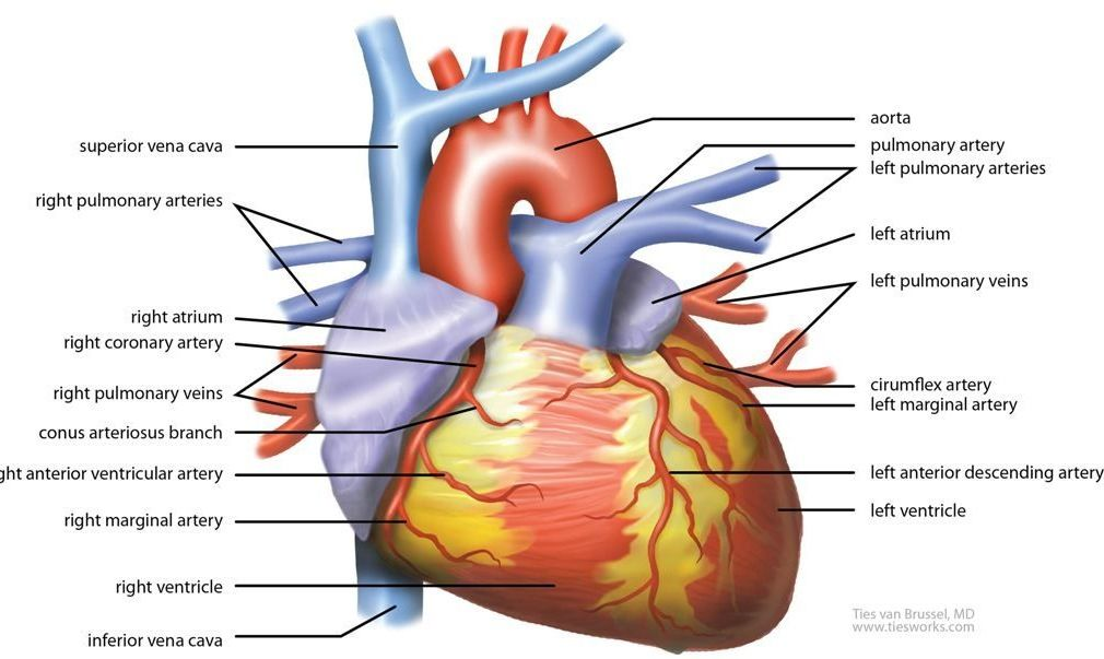 Identifying The Parts Of The Heart The Heart Pinterest