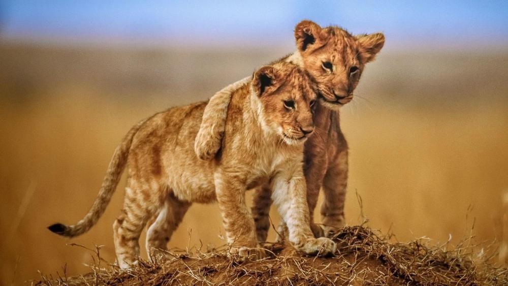 Cute Lion Cubs Hd Wallpaper Wallpaper Studio 10 Tens Of Thousands Hd And Ultrahd Wallpapers For Android Windows A Animals Lion Hd Wallpaper Lion Wallpaper